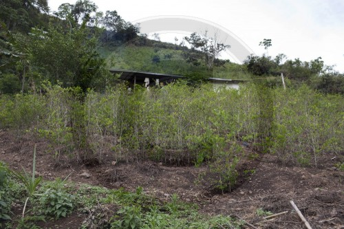 Koka - Anbau | Coca - Cultivation
