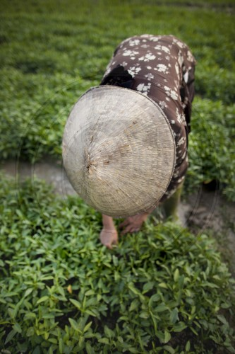 Baeuerin in einem Reisfeld in Vietnam|Female farmer in a rice paddy in Vietnam